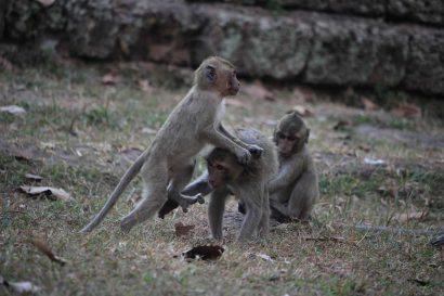 Bayon monkeys