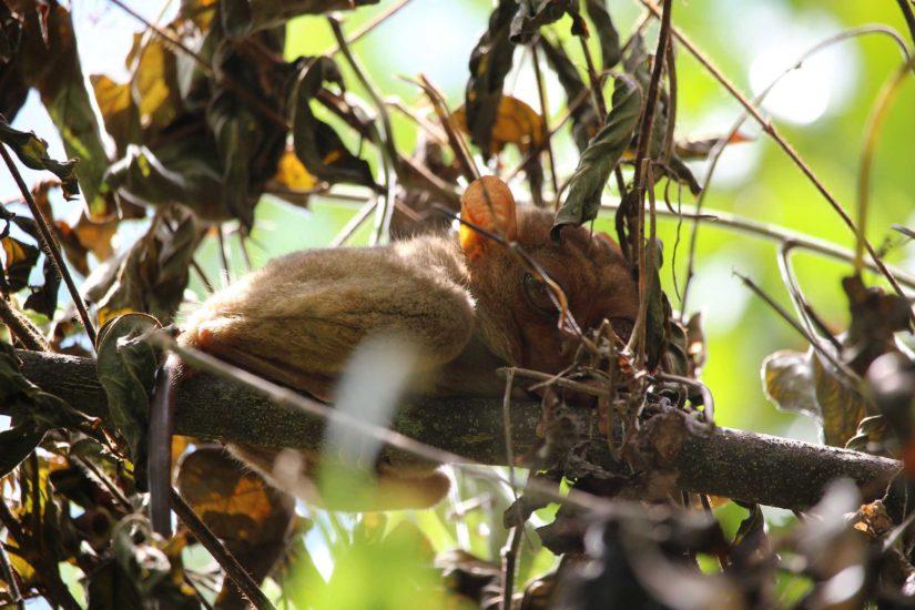 tarsiers de Bohol