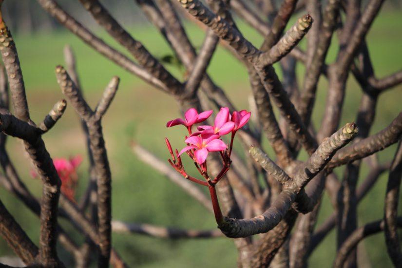 frontière Thailande Cambodge Flore d'Asie