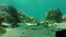 apo-coral
