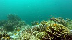 belicasag-corals