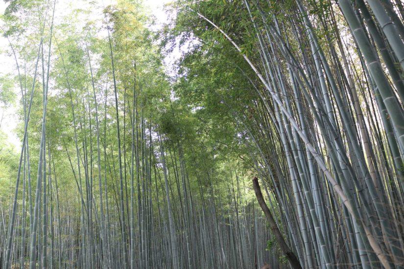 Bambouserai d'Arashiyama